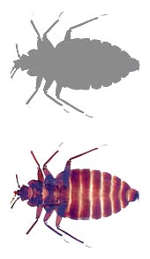 Bed bug Small Grey