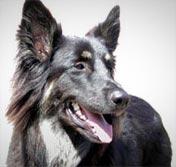 Cody dog