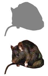 RatSmallGrey